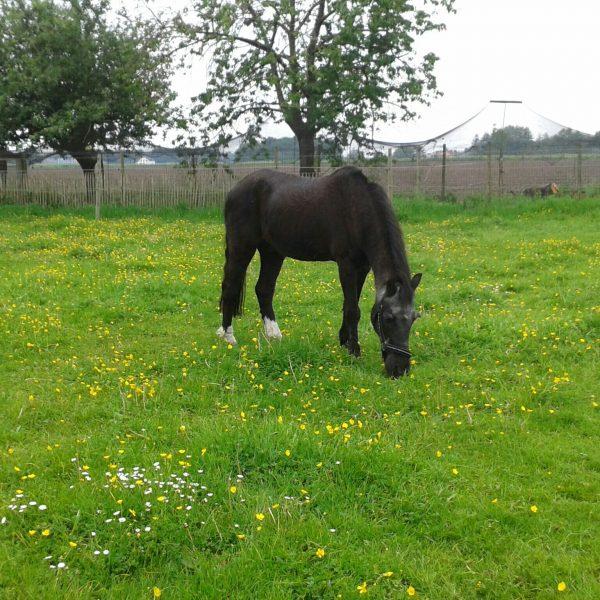 76959b6e3d00a6 Stemmen - Het leukste oude paard van NederlandHet leukste oude paard ...